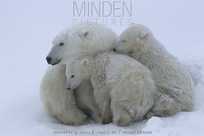 Mother polar bear (Ursus maritumus) and twin cubs (about 10-11 months old) resting in a day-bed during a snowstorm. Wapusk National Park near the edge of Hudson Bay, Manitoba, Canada.
