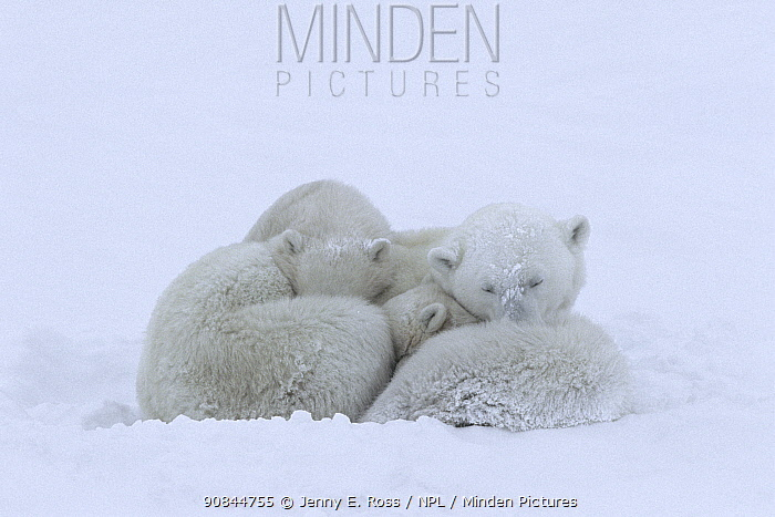Mother polar bear (Ursus maritumus) and twin cubs (about 10-11 months old) sleeping during a snowstorm. Wapusk National Park near the edge of Hudson Bay, Manitoba, Canada.