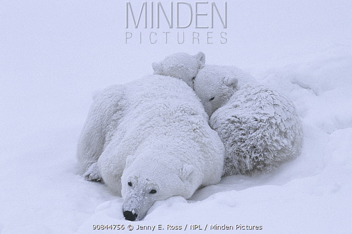 Polar bear (Ursus maritumus) female and twin cubs (age about 10-11 months) resting in a day-bed during a snowstorm. Wapusk National Park , Hudson Bay, Manitoba, Canada. November.