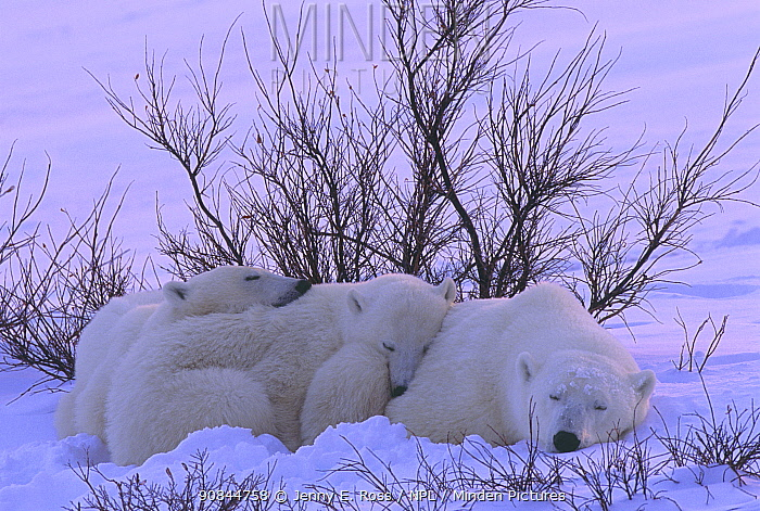 Polar bear (Ursus maritimus) mother and twin cubs rest in the snow among willows on the shore of Hudson Bay, Manitoba, Canada. November.
