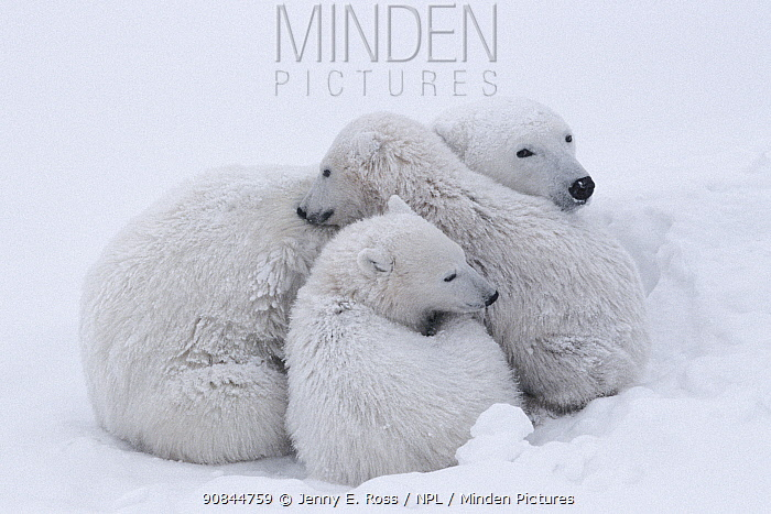 Polar bear (Ursus maritumus) female and twin cubs (about 10-11 months old) resting in a day-bed during a snowstorm. Wapusk National Park, Manitoba, Canada.