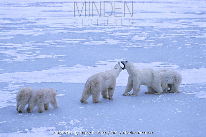 Polar bear (Ursus maritimus) territorial confrontation on the sea ice between two polar bear family groups (two adult females each with twin cubs). Wapusk National Park, Hudson Bay, Manitoba, Canada. November.
