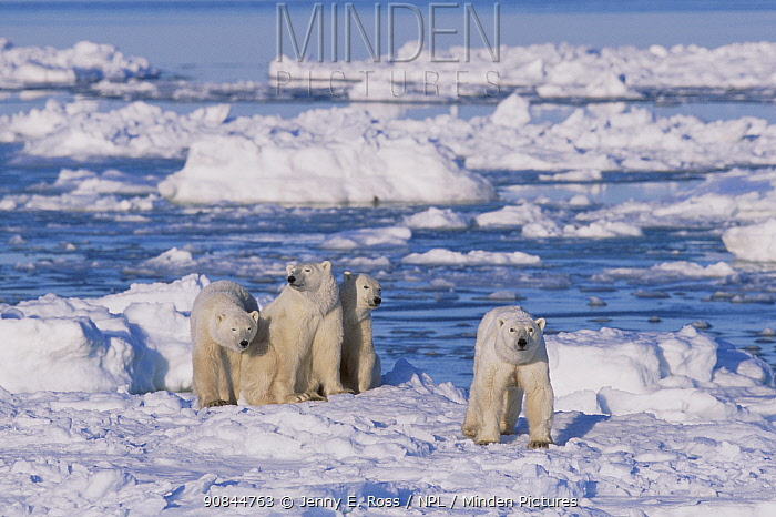 Polar bear (right, foreground) female and her triplets age 23-months triplets, Hudson Bay, Manitoba, Canada. November.