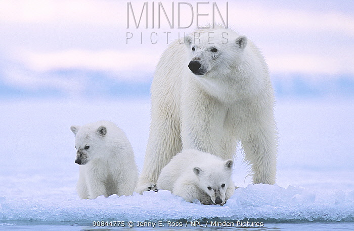 Polar bear (Ursus maritimus) and her twin cubs (age 6 months ) at the edge of fjord ice near Nordaustlandet, Svalbard Archipelago, Norway,