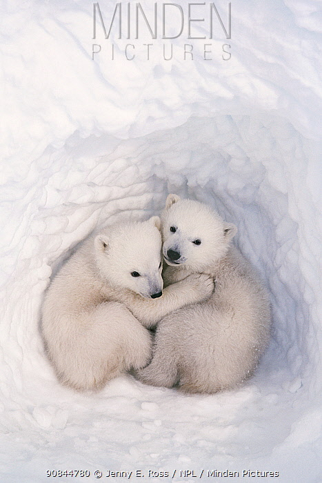 Polar bear (Ursus maritimus) cubs, age 2-3 months, in den, Wapusk National Park, Manitoba, Canada. March.