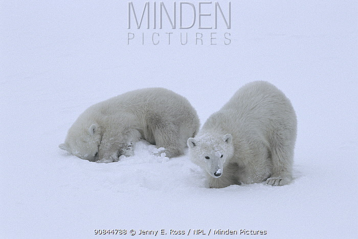 Polar bear (Ursus maritimus) cubs (age 10-11 months) playing together in the snow, mimicking their mother's hunting behaviour and pretending to break into a ringed seal's lair beneath the snow. Wapusk National Park, Manitoba, Canada. November.