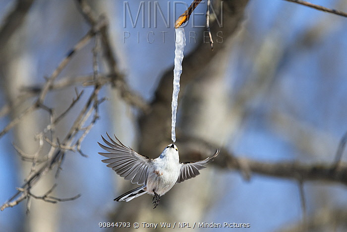 Long-tailed tit (Aegithalos caudatus) feeding on an icicle formed from the sap of a painted maple tree (Acer pictum) in winter. Hokkaido, Japan.