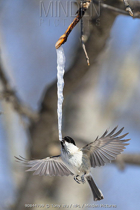 Marsh tit (Poecile palustris hensoni) feeding on an icicle formed from the sap of a painted maple tree (Acer pictum) in winter. Hokkaido, Japan.