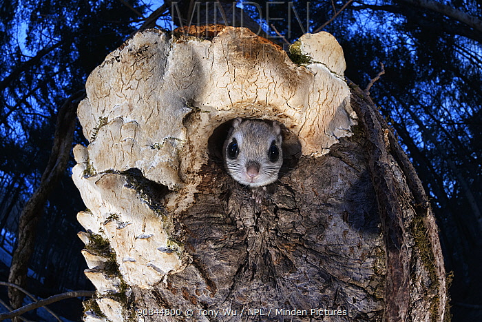 Japanese dwarf flying squirrel (Pteromys volans orii) peering out of nest hole in tree trunk. Hokkaido, Japan. March.