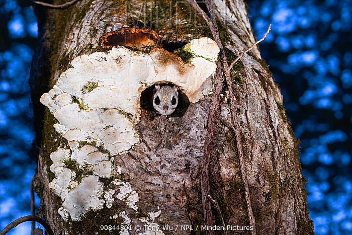 Japanese dwarf flying squirrel (Pteromys volans orii) emerging from nest hole at dusk. Hokkaido, Japan. March.