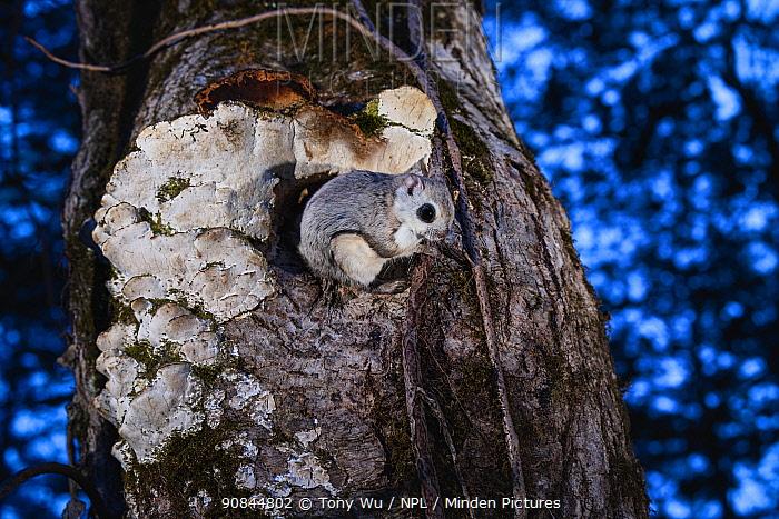 Japanese dwarf flying squirrel (Pteromys volans orii) sitting on tree trunk outside nest hole at dusk. Hokkaido, Japan. March.