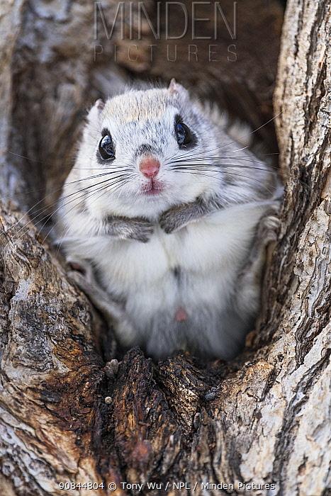Japanese dwarf flying squirrel (Pteromys volans orii) male sitting in tree, portrait. Hokkaido, Japan. March.