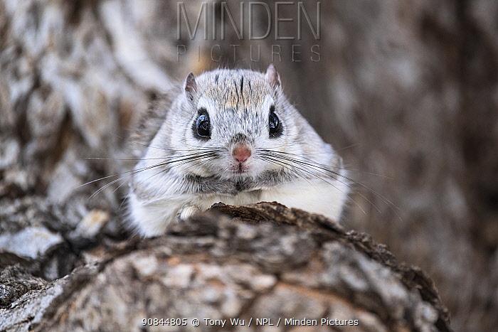 Japanese dwarf flying squirrel (Pteromys volans orii) male in tree, portrait. Hokkaido, Japan. March.