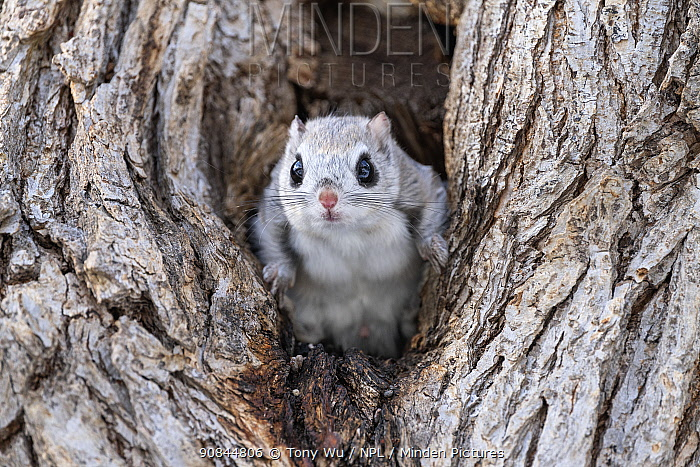 Japanese dwarf flying squirrel (Pteromys volans orii) male in tree. Hokkaido, Japan. March.