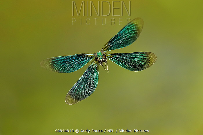 Beautiful Demoiselle damselfly (Calopteryx virgo), male flying, Wales, UK.