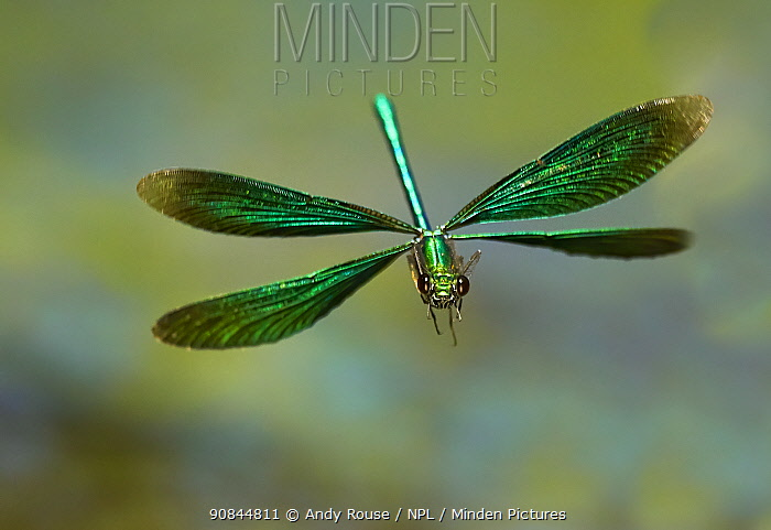 Beautiful Demoiselle damselfly (Calopteryx virgo), male flying, Wales, UK. Small repro only.