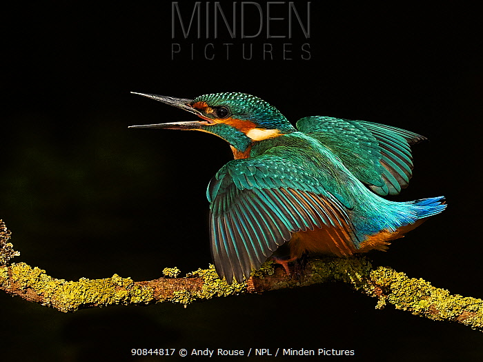 Common kingfisher (Alcedo atthis) displaying to sibling. Territorial behaviour, UK.