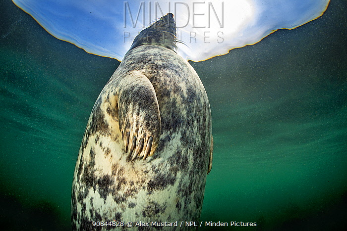 A large female Grey seal (Halichoerus grypus) probably heavily pregnant, resting/bottling at the surface in shallow water, head above water, Farne Islands, Northumberland, UK