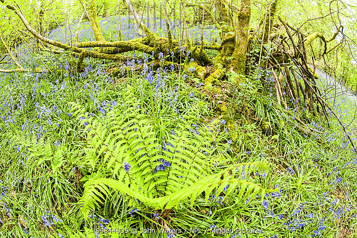 Bluebells (Hyacinthoides non-scripta) and a Male Fern (Dryopteris filix-mas) dominate the ground cover in spring in a deciduous wood, Prior's Wood, Avon Wildlife Trust reserve, near Bristol, UK, April.