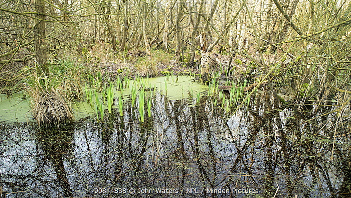 Swamp woodland growing in the Avalon Marshes, a large area of wetland habitats, part of the Somerset Levels near Glastonbury, Somerset, UK. Extensive peat diggings have filled with water and become colonised with reeds and swampy woodland. March 2020.