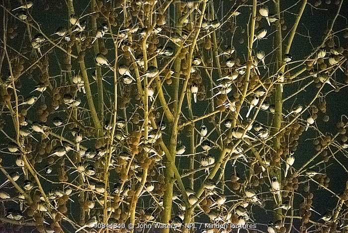 Pied Wagtails (Motacilla alba) mass roosting at night in tree in Bath city centre, England, UK, January.