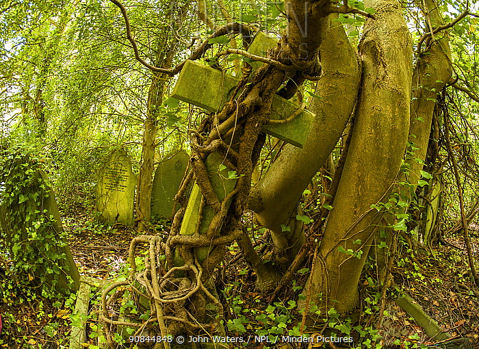 Tombstone being strangled by ivy in Arnos Vale Cemetery, now disused, overgrown and a refuge for nature. Bristol, England, UK, June 2019,