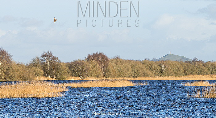 Marsh Harrier (Circus aeruginosus) distantly soaring above Avalon Marshes, a large area of wetland habitats, part of the Somerset Levels, near Glastonbury, Somerset, UK, Glastonbury Tor in background, March 2020,