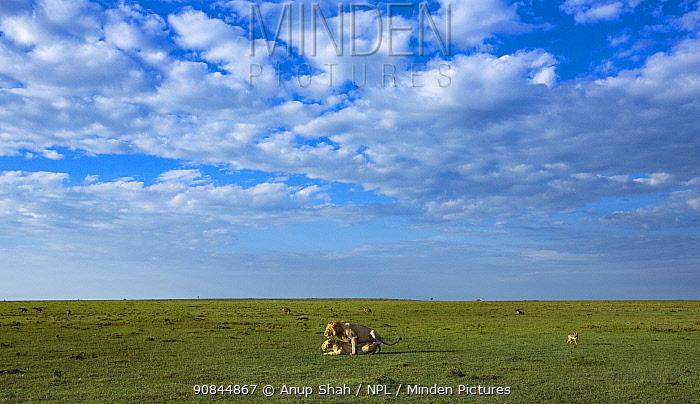 Lions (Panthera leo) mating. Masai Mara National Reserve, Kenya.