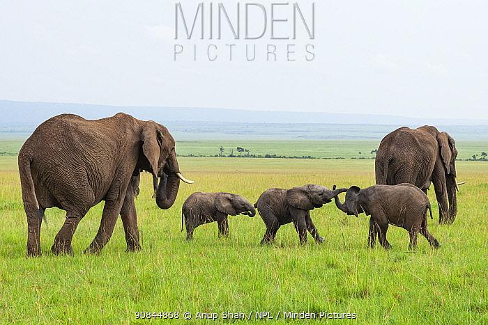 African elephant (Loxodonta africana) calves playing within the herd Masai Mara National Reserve, Kenya.