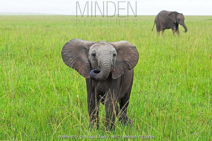 African elephant (Loxodonta africana) calf approaching with curiosity, Masai Mara National Reserve, Kenya.