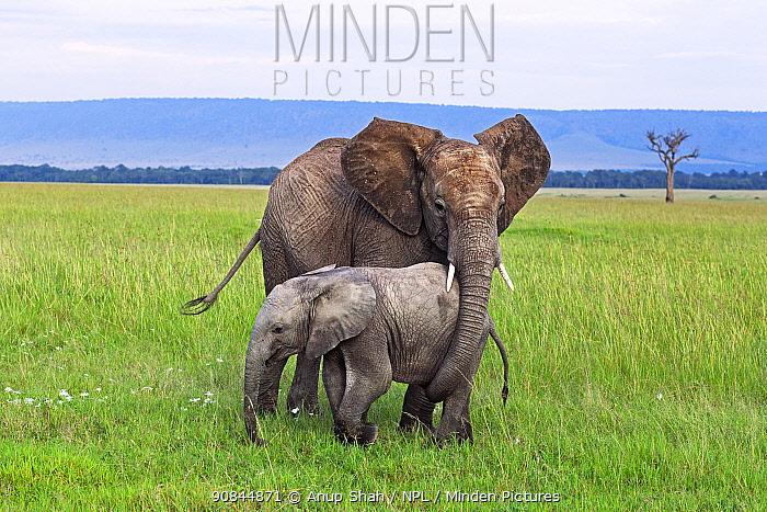African elephant (loxodonta africana) calf and juveniles playing together . Masai Mara National Reserve, Kenya.