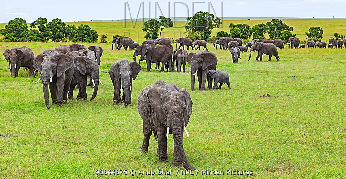 African elephant (Loxodonta africana) herd on the move, Masai Mara National Reserve, Kenya.
