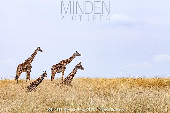 Masai giraffe (Giraffa camelopardalis tippelskirchi) herd resting, Masai Mara National Reserve, Kenya.