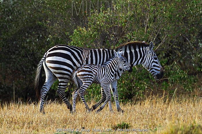 Common / Plains zebra (Equus quagga burchelli) female and foal. Masai Mara National Reserve, Kenya. November 2018.