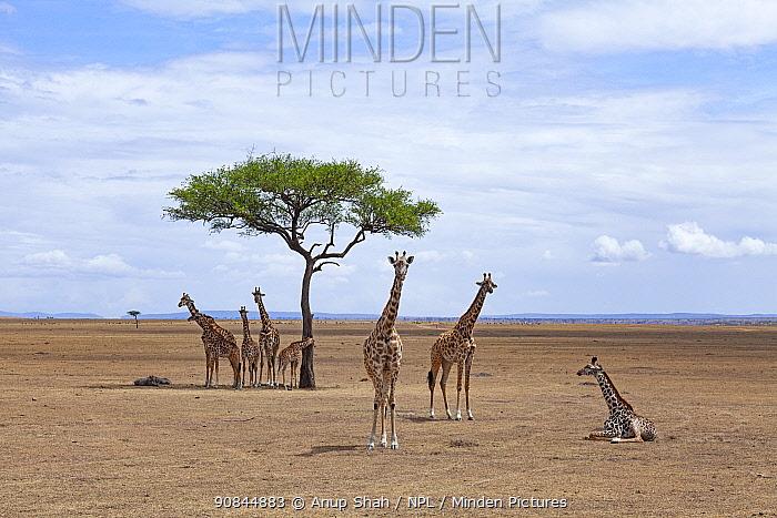 Masai giraffe (Giraffa camelopardalis tippelskirchi) herd gathered together resting, Masai Mara National Reserve, Kenya.