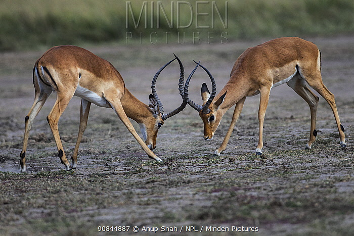 Impala (Aepyceros melampus) males sparring, Masai Mara National Reserve, Kenya.