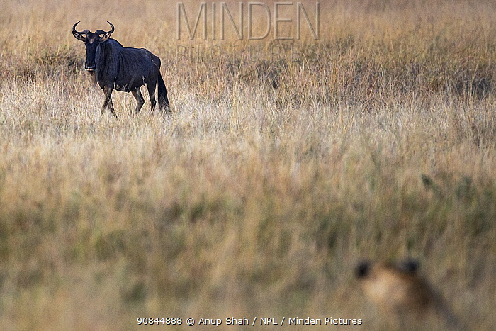 Eastern white-bearded wildebeest (Connochaetes taurinus) stalked by a Lioness (Panthera leo). Masai Mara National Reserve, Kenya. July 2015.