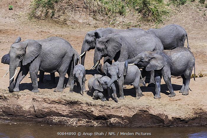 African elephant (Loxodonta africana) herd and Hippopotamus (Hippopotamus amphibius) behind, Mara River, Masai Mara National Reserve, Kenya.