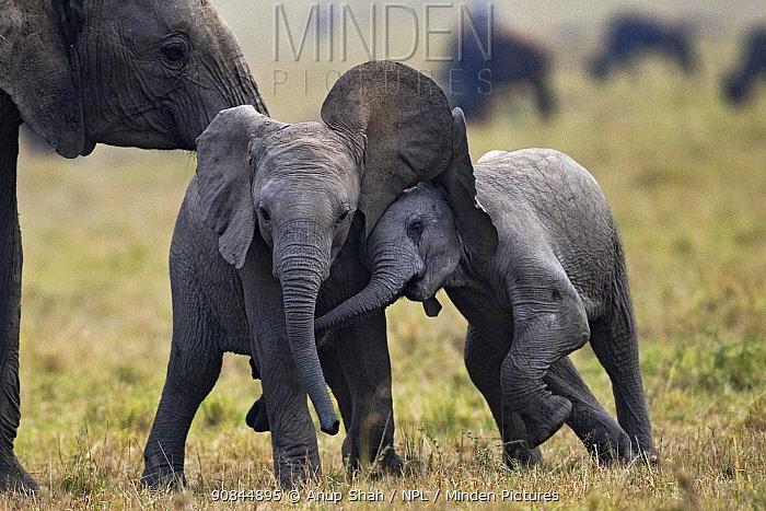 African elephant (Loxodonta africana) babies playing . Masai Mara National Reserve, Kenya. July 2017.
