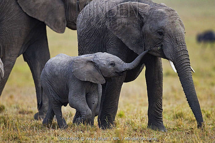 African elephant (Loxodonta africana) babies playing. Masai Mara National Reserve, Kenya. July.