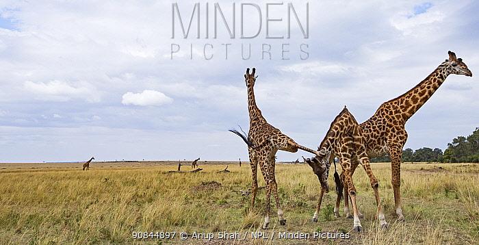 Maasai giraffes (Giraffa camelopardalis tippelskirchi) play fighting. Masai Mara National Reserve, Kenya.