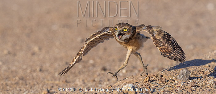 Young Burrowing owl (Athene cunicularia) testing its wings. Sonoran Desert, Arizona, USA.