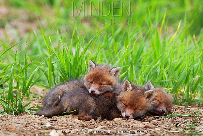 Three Red fox (Vulpes vulpes) cubs sleeping near den. Yonne, France, May.