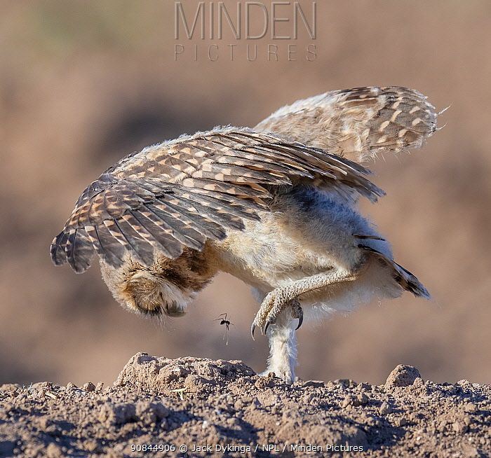 Burrowing owl (Athene cunicularia) chick shaking insect off foot. Sonoran Desert, Arizona, USA, May.