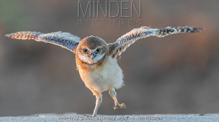 Burrowing owl (Athene cunicularia) chick trying its wings, Arizona Sonoran Desert, USA