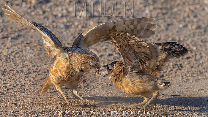 Burrowing owl (Athene cunicularia) male feeding fledgling, Arizona Sonoran Desert, USA