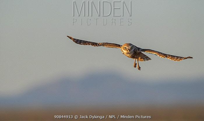 Burrowing owl (Athene cunicularia) male in flight Sonoran Desert, USA, May.