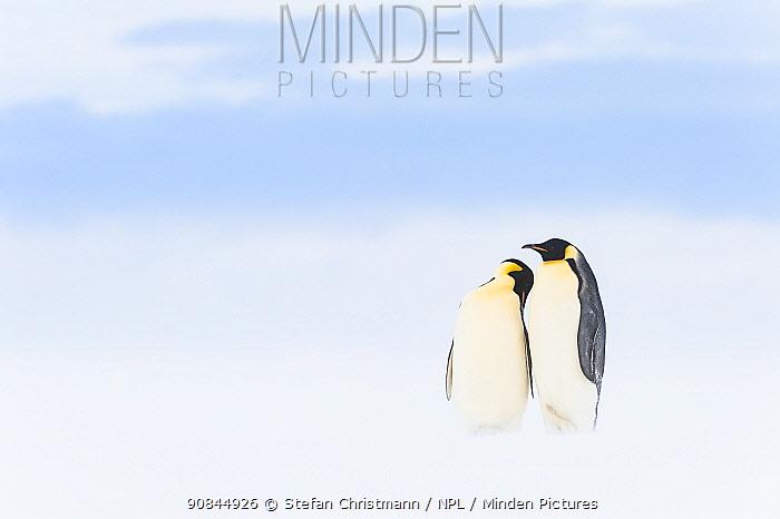 Emperor penguin (Aptenodytes forsteri) pair courting, Atka Bay, Antarctica. Bookplate.