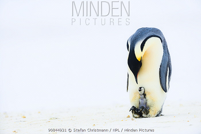 Emperor penguin (Aptenodytes forsteri) father with his newly-hatched chick which is begging for food, Atka Bay, Antarctica. August. Bookplate.