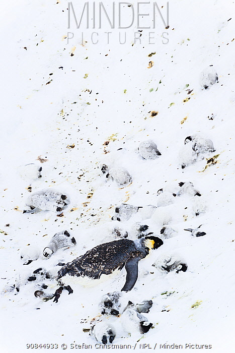 Emperor penguin (Aptenodytes forsteri) and chicks dead and frozen in ice after a snowstorm, Atka Bay, Antarctica. November. Bookplate.